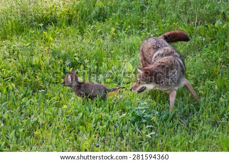 Adult Coyote (Canis latrans) Chases Pup - captive animal - stock photo
