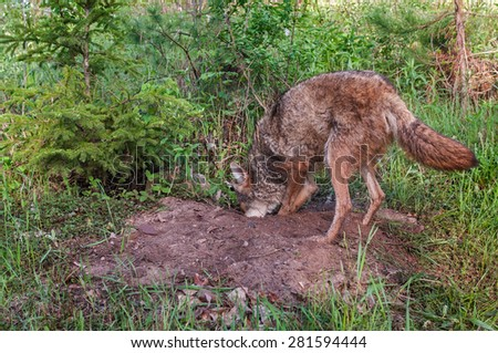 Adult Coyote (Canis latrans) Digs in Den - captive animal - stock photo
