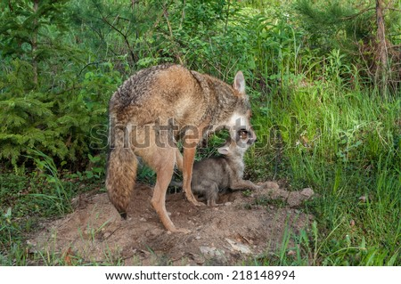 Adult Coyote (Canis latrans) Muzzle Grasps Pup in pacifying behavior - captive animal - stock photo