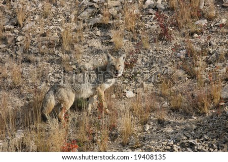 Adult Coyote Looking Back at Photographer in the Lamar valley, Yellowstone National Park - stock photo