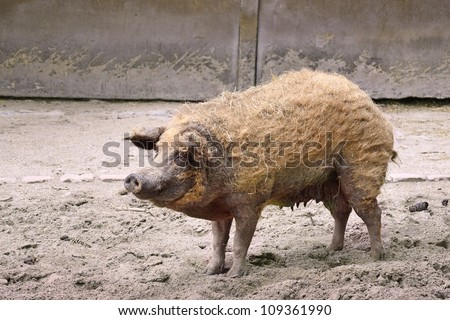Adult dirty pig in a pigsty - stock photo