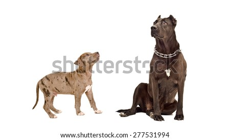 Adult dog and puppy pit bull together isolated on white background - stock photo