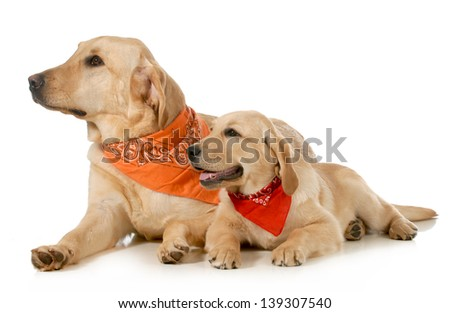 adult dog and puppy wearing bandanas laying down looking off to the side isolated on white background - stock photo