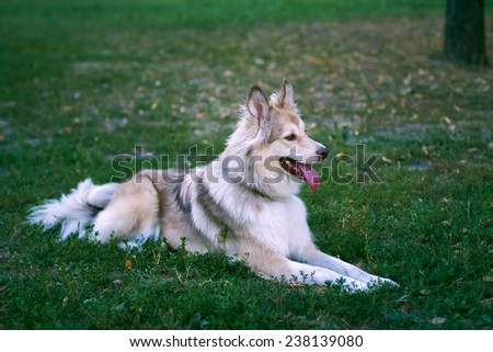 adult dog lying on the grass in the park  - stock photo