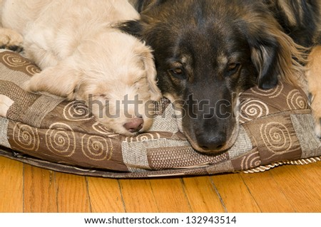 Adult dog resting on a pillow next to a pup - stock photo