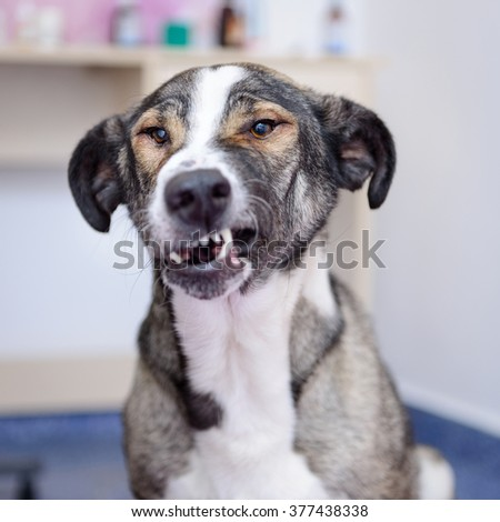 adult dog showing teeth evil in the veterinary clinic