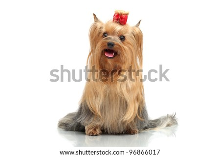 Adult dog yorkshire terrier. The winner at an exhibition of dogs