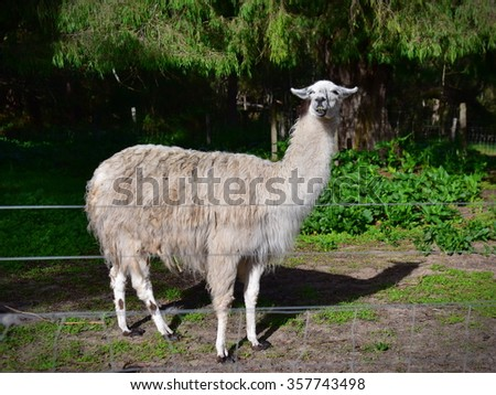 Adult domesticated llama in a farm in Western Australia - stock photo
