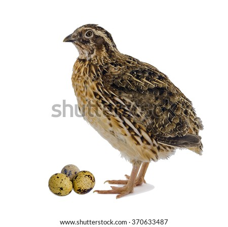Adult domesticated quail with eggs isolated on white