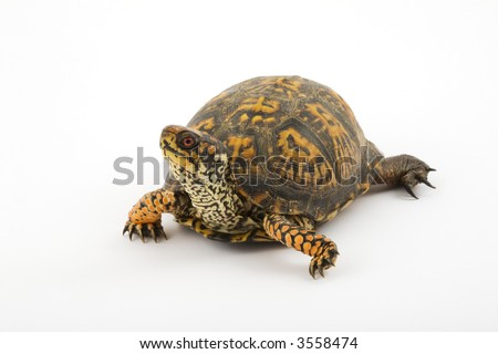 Adult Eastern Box Turtle  (Terrapene carolina carolina)  is a subspecies within a group of hinge-shelled turtles, normally called box turtles. T. c. carolina is native to an eastern part of the US
