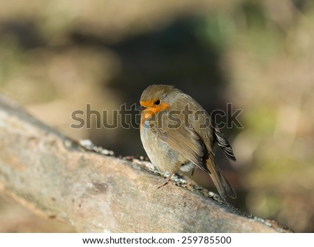 Adult Eurasian Robin in sunshine, looking coy. - stock photo