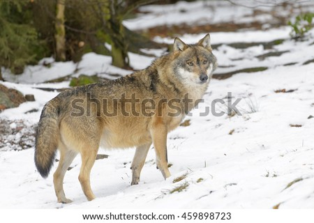 Wolf Germany eurasian wolf canis lupus lupus stock photo royalty free