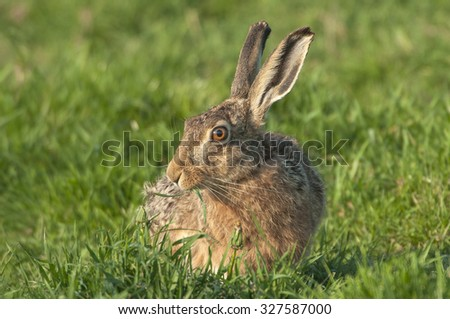 Adult European Hare (Lepus europaeus) foraging on grass in a meadow