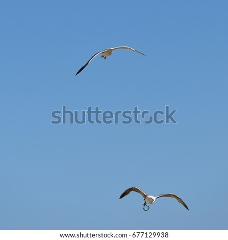 Adult European herring gull flying high