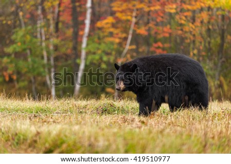 Adult Female Black Bear (Ursus americanus) Looks Back - captive animal