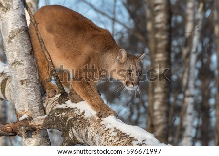Adult Female Cougar (Puma concolor) Walks Down Birch Branch - captive animal