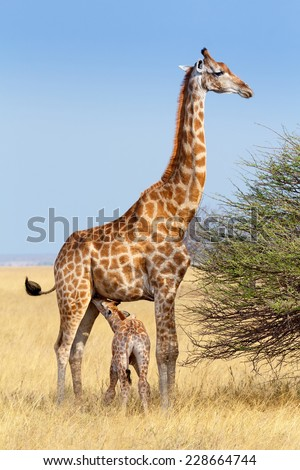 adult female giraffe with calf suckling breast milk in Etosha national Park, Ombika, Kunene, Namibia, true wildlife photography - stock photo