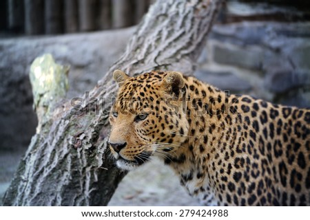 Adult Female Jaguar walking - stock photo