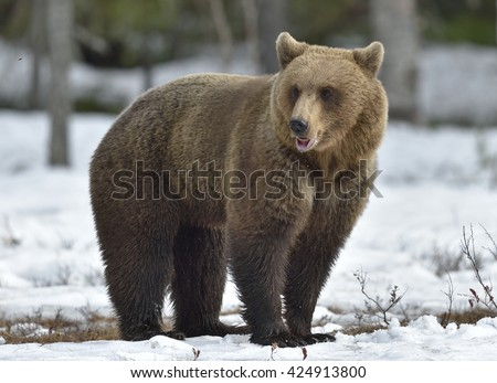 Adult female of Brown Bear (Ursus arctos) on the snow in spring forest.