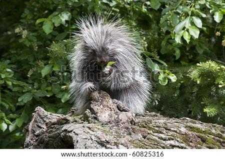 Adult female porcupine (Erethizon dorsatum), eats nearby plant vegetation while sitting on a dead log in the forest. - stock photo