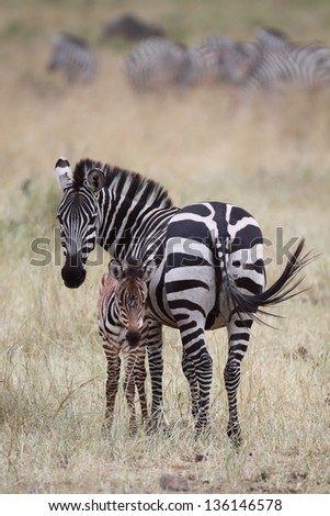 Adult female zebra wagging tail with foul - stock photo
