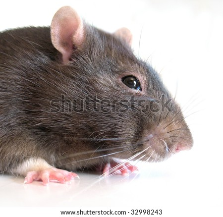 adult fluffy rat on white background