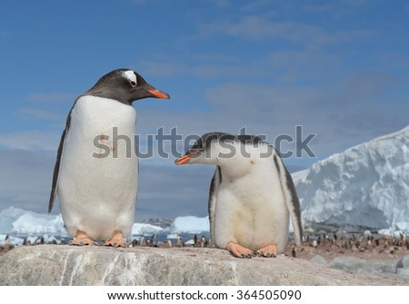 Adult Gentoo penguin with chick on the rock, with icy blue background, Antarctica - stock photo