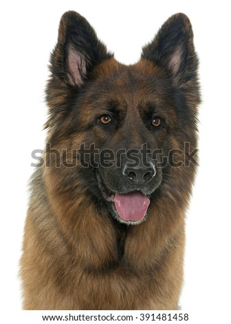 adult german shepherd in front of white background