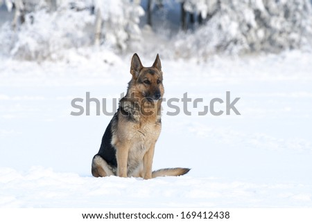 adult German shepherd sitting on the snow