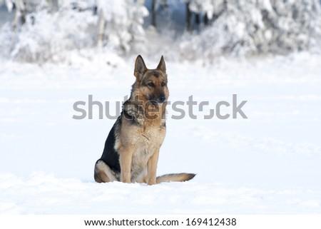adult German shepherd sitting on the snow - stock photo
