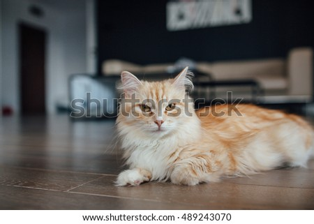 Adult ginger cat is laying on the wooden floor and looking to the camera. Home background