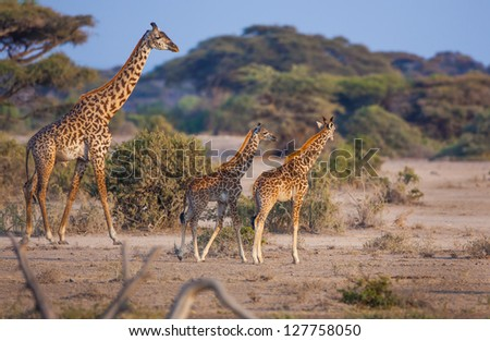 Adult giraffe keeps close eye on two young ones - stock photo