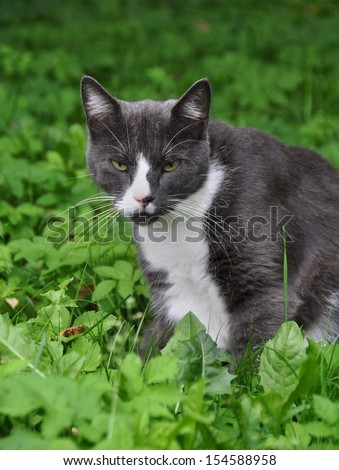 Adult gray cat on a background of green grass. - stock photo
