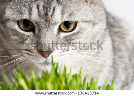 Adult gray young cat face view close up portrait sitting and pay attention with fresh green grass on white background - stock photo
