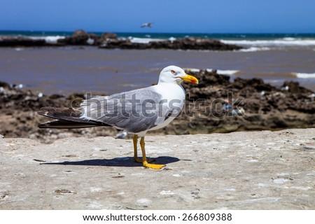 adult Great black-backed gull, Larus marinus on the Moroccan coast - stock photo