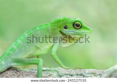 Adult Green crested lizard, Bronchocela cristatella. Image has grain or noise and soft focus when view at full resolution. (Shallow DOF, slight motion blur ) - stock photo