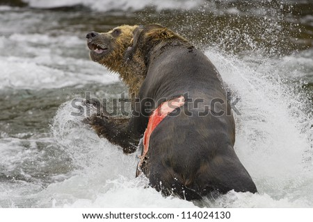 Adult Grizzly Bears fight for fishing rights Brooks Falls - Alaska - stock photo