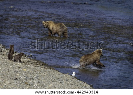 adult grizzly bears fishing while two cubs watch on the river bank