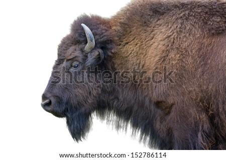 Adult horned buffalo isolated on a white background - stock photo