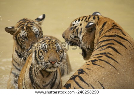 Adult Indochinese male tiger growls to the female. The Indochinese tiger (Panthera tigris corbetti) is a tiger subspecies found in the Indochina region of Southeastern Asia. - stock photo