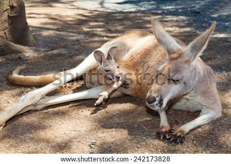 Adult kangaroo relaxing with joey in it's pouch - stock photo