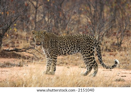 Adult Leopard pausing to look at the camera - stock photo