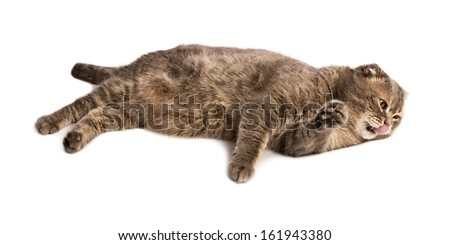 Adult licking lips Scottish Fold cat lies on white isolated background