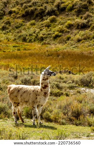 Adult llama with spotted coat standing in mountain meadow on sunny fall afternoon