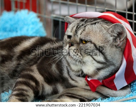 Adult male American Shorthair cat