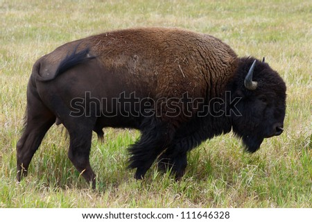 Adult male bison, Grand Teton National Park, Jackson Hole, Wyoming.