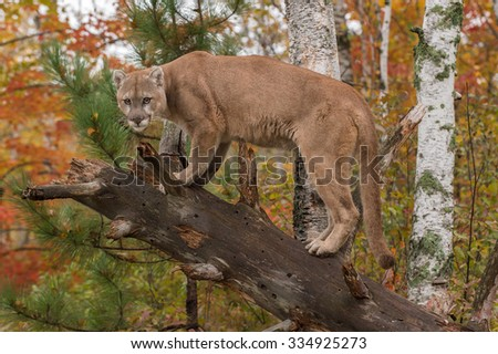 Adult Male Cougar (Puma concolor) Glares from Downed Tree - captive animal