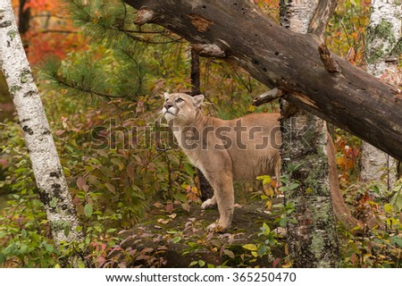 Adult Male Cougar (Puma concolor) Looks Up - captive animal