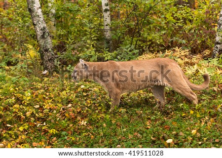 Adult Male Cougar (Puma concolor) Stalks - captive animal