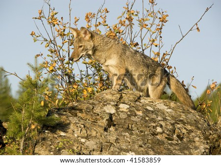 Adult male coyote (Canis latrans) scans the ground below from his perch on a rocky cliff, surrounded by fall foliage.